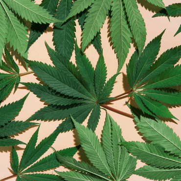 Marijuana Leaves Over Pink Background